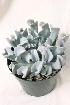 Echeveria runyonii 'Topsy Turvy' - Succulent Gardens