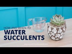 There are some amazing planters and pots for succulents that don't have drainage holes. Find out how to properly water your succulents in one of them! How To Water Succulents, Growing Succulents, Cacti And Succulents, Planting Succulents, Watering Succulents, Planting Flowers, Succulent Landscaping, Succulent Gardening, Garden Terrarium