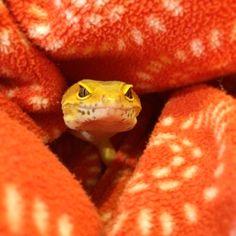 Leopardgecko warm colors