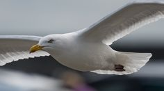 PRA Images posted a photo:  A Herring Gull on the constant search for food, swoops in low over the car park of the Penrhos Coastal Park, Holyhead, Anglesey.