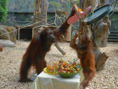 Celebrating the birthday of the Orang-Utan bornejského Žaneta, which enjoyed…