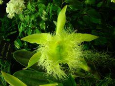 Brassavola digbyana Orchid     by Kokin