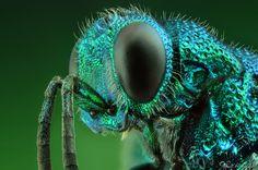 Cuckoo Wasp by Yousef Al Habshi, via 500px