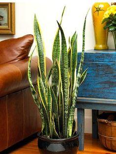 Vorrei una piccola pianta nel mio soggiorno per l'aspetto. Io voglio la pianta perché aggiunge vita e colore alla camera.