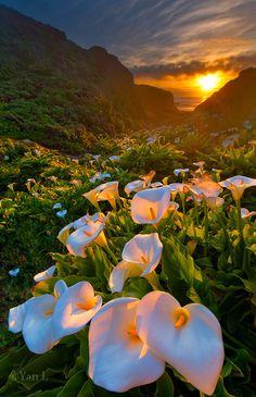 Calla Lilly by Yan L, via 500px