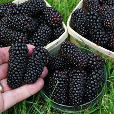 Blackberry Bush 'Black Butte' / This new variety of blackberry produces extremely large fruits up to 12g in weight and 5cm (2in) in length (twice the size of normal blackberries). Rich, sweet and full of flavour.