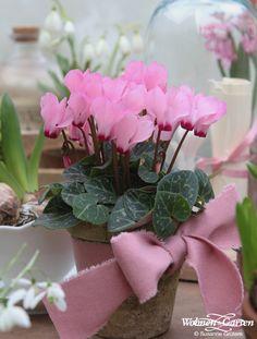 Wer ein winterliches Blumenpresent verschenken möchte, liegt mit dem Alpenveilchen goldrichtig. (Foto: WG/Susanne Grüters)
