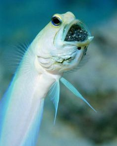 Jawfish Orally brood their eggs to protect their offspring from predators.