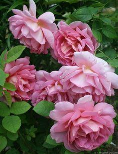 'The Endeavour' Rose. Shrub. English Rose