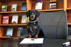 Crusoe got a book deal! Yeah Crusoe!– Crusoe the Celebrity Dachshund