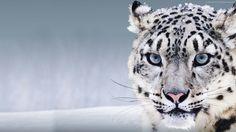 snow leopard wallpaper animals
