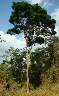 Brasil - Aroeira preta Astronium graveoleans