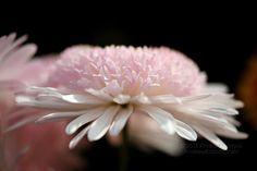 Lenyűgöző krizantém virág tapéta 7237264