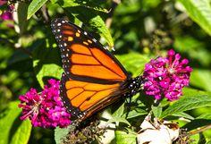 https://flic.kr/p/NWLbkV | Monarch Butterfly