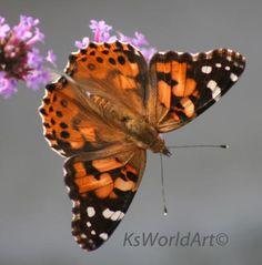 http://www.butterfliesandmoths.org/species/Vanessa-cardui...Painted Lady