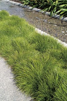 Lomandra Little Con - An Australian native grass which forms neat rounded mounds of lime green evergreen foliage. Hardy and easy to grow it makes an ideal ground cover as well as a tough edging for low maintenance areas. Lomandra, Australian Native Garden, Front Gardens, Dry Garden, Ground Cover Plants, Low Maintenance Garden, Ornamental Grasses, Native Plants, Garden Planning