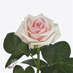 Lazise Roses are pale pink & usually available all year round. 50cm stem lengths this wholesale cut flower is wholesaled in 20 stem wraps.