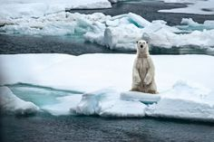 National Geographic photographer Cristina Mittermeier brings reality images to Kimmel Center National Geographic Photographers, National Geographic Travel, Sea Ice, Bear Photos, Climate Change Effects, Love Bear, Bald Eagle, Mammals, Cute Animals