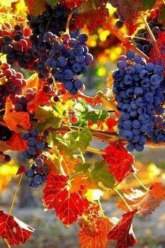 Grapes..