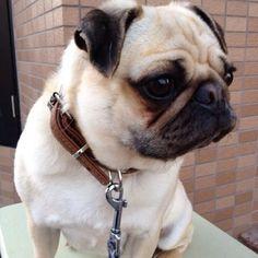 tkasa the pretty pug~ #pugs
