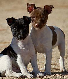 Terriers Rat Terrier breed info,Pictures,Characteristics,Hypoallergenic:No Rat Terriers, Pitbull Terrier, Rat Terrier Puppies, Terrier Breeds, Dog Breeds, Dogs And Puppies, Doggies, Beautiful Dogs, Animals Beautiful