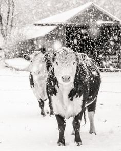 French Country Farm Cows Farmhouse Decor Winter Snow Rustic Warm Sepia Brown White Simple Style Farm Country, Fine Art Print