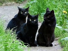 The Black cat with Golden eyes triplets hanging out in the garden. Pretty Cats, Beautiful Cats, Animals Beautiful, Cute Animals, Cute Black Cats, White Cats, Black Kitty, Crazy Cat Lady, Crazy Cats