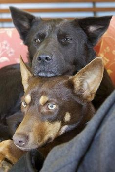 2 is always better than right? by sybil Australian Dog Breeds, Australian Animals, Australian Shepherds, German Shepherds, West Highland Terrier, Scottish Terrier, Rottweiler, I Love Dogs, Cute Dogs