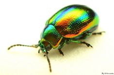 Iridescent beetle.
