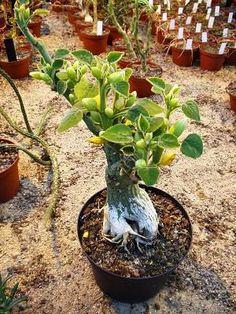CAUDICIFORM Adenia keramanthus