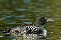 Common Loon with Chick on Back - Whatbird.com