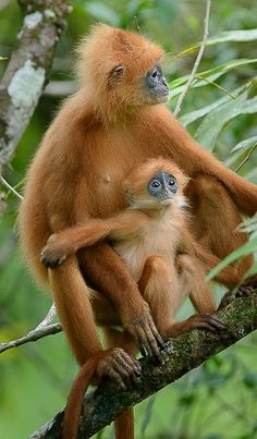 Wild Animals Pictures, Animal Pictures, Nature Animals, Animals And Pets, Los Primates, Types Of Monkeys, Monkey See Monkey Do, Animals Of The World, Cute Baby Animals