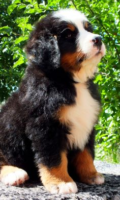 #BerneseMountainPuppy, #boyerodeberna,#cutepuppy #boyerodeberna, #cachorros, #bovarodelbernese, #bernesemountaondog, #puppies +34722754065 Deni (Viber Watsapp) Delivery Worldwide Cute Puppies, Cute Dogs, Dogs And Puppies, Doggies, Best Dogs For Families, Family Dogs, Cute Baby Animals, Animals And Pets, Bernese Dog