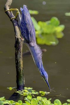 ~ Photo by : ZY young ~ The striated heron, is a small heron, about 44 cm tall. Striated herons are mostly non-migratory and noted for some interesting behavioral traits. All Birds, Little Birds, Birds Of Prey, Love Birds, Pretty Birds, Beautiful Birds, Animals Beautiful, Exotic Birds, Colorful Birds