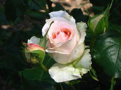 Lovely Roses at the Huntington Botanical Gardens, San Marino, California