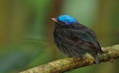 Uirapuru-de-chapeu-azul (Lepidothrix coronata)