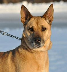 Aurora - German Pinscher/Shar Pei mix - 2 yrs old - Animal Charity of Ohio - Youngstown, OH. - http://www.animalcharityofohio.org/animal-shelter.html - https://www.facebook.com/animalcharityofohio - http://www.petango.com/Adopt/Dog-German-Shepherd-24026322 - https://www.petfinder.com/petdetail/30549982/
