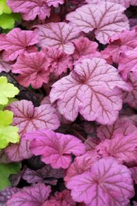 HEUCHERA  ~~~  Berry Smoothie ~~ A big, bold new introduction from Terra Nova. The large round leaves have colors from purple rose to rose pink. Heuchera make excellent container plants and as woodland plants they add dramatic color and form to any partially shaded garden.