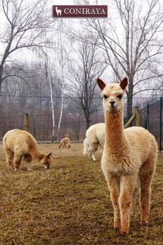"""I don't know Them! Just kidding! xD xD Love all alpacas"""