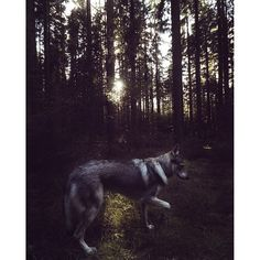 There's something soothing about sunsets   #travelwithmaya #hikingwithdogs #stayandwander #roamtheplanet #Exploretocreate #folkgood #folkvibe #mobilemag #wolfdog #exklusive_shot #czechoslovakianwolfdog #lifeofadventure #adventurethatislife #folk