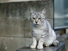 Austrailian Mist Cat Breed
