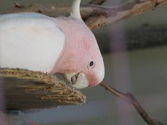 Bird Photos, Birding Sites, Bird Information: MAJOR MITCHELL COCKATOO, MOONLIT SANCTUARY, PEARCE...
