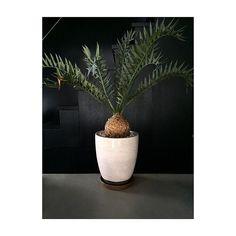 jpTOKY Encephalartos horridus Coming soon. by toky. Exotic Plants, Instagram Posts