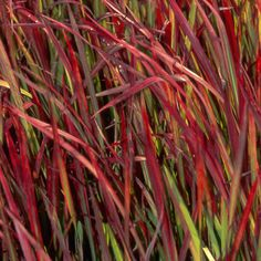 Imperata cylindrica 'Red Baron' - Plantes et Jardins