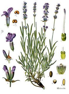 LAVANDA - Lavender - Lavandula angustifolia, L. Vintage Botanical Prints, Botanical Drawings, Botanical Art, Botanical Illustration, Art Floral, Impressions Botaniques, Illustration Botanique, Lavandula Angustifolia, Plant Drawing
