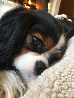 All About Fun Cavalier King Charles Spaniel And Kids Cavalier King Charles Spaniel, King Charles Puppy, Cute Puppies, Cute Dogs, Roi Charles, Spaniel Puppies, Cocker Spaniel, Cute Animal Pictures, Dog Life
