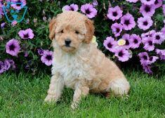 Hugs | Goldendoodle - Miniature Puppy For Sale | Keystone Puppies Goldendoodle Miniature, Miniature Puppies, Goldendoodle Puppy For Sale, Puppies For Sale, Dogs And Puppies, Newborn Puppies, New Puppy, Teddy Bear, Goldendoodles