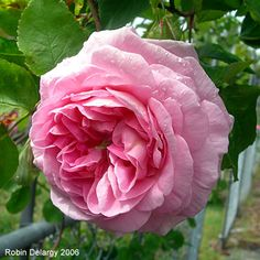 beautiful old garden rose