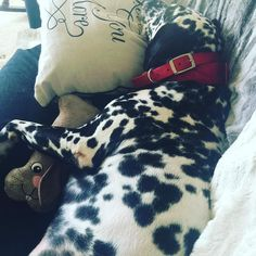 Some days all you need is a couch a pillow and your snuggle bunny to be complete #lazysaturday #dalmatian #dogsofinstagram