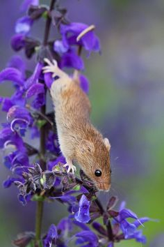 Harvest Mouse - Micromys minutus by Dennis Lorenz Nature Animals, Woodland Animals, Animals And Pets, Funny Animals, Small Animals, Felt Animals, Hamsters, Rodents, Cute Creatures